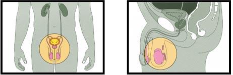 Die Spermienproduktion beginnt im Nebenhoden